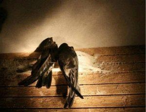 金丝燕筑巢