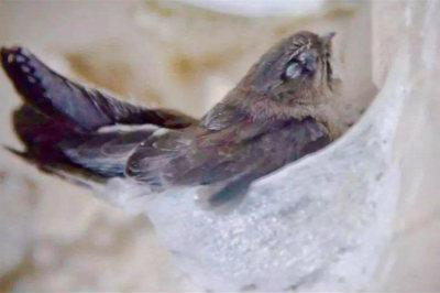 金丝燕正在孵化燕蛋