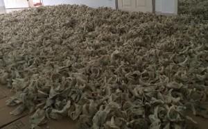 大量马来西亚毛燕