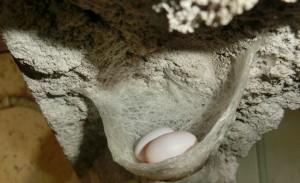 金丝燕燕窝蛋