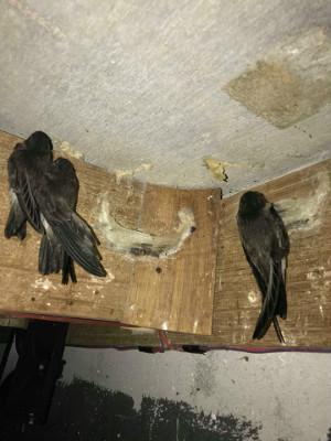金丝燕子筑巢在燕板上